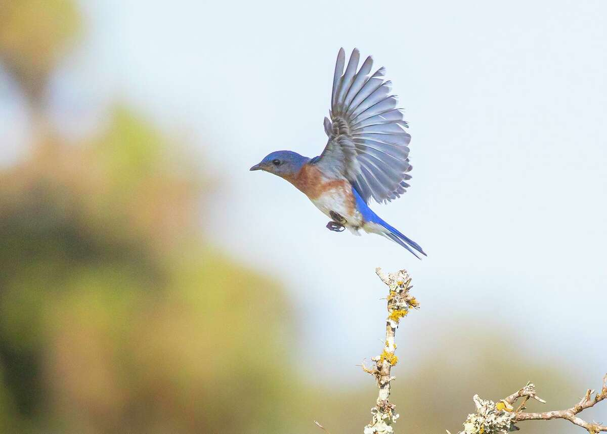 Eastern bluebirds reside in the eastern half of Texas plus parts of the Hill Country and Panhandle.