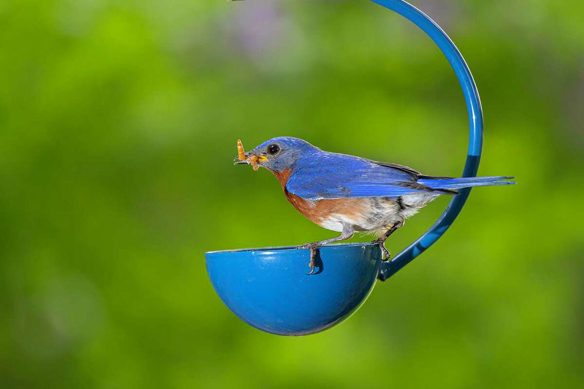 Eastern bluebirds can be attracted to a mealworm feeder. The live worms supplement natural food and help nourish chicks.