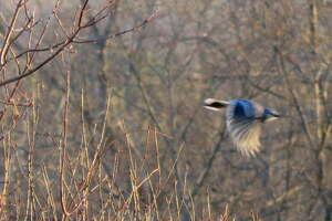 A bluejay takes flight near Zenner Road in Niskayuna.