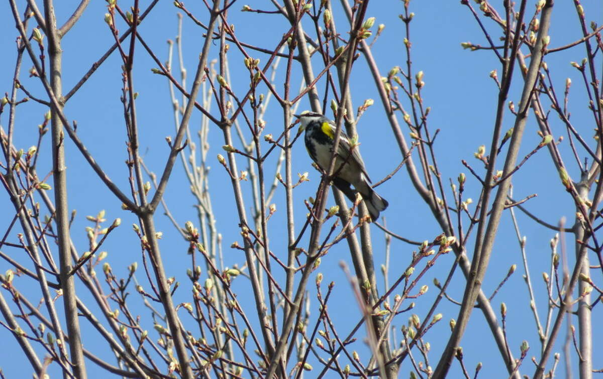 A yellow-rumped warbler occupies a tree near Boreas Ponds in the Adirondacks.