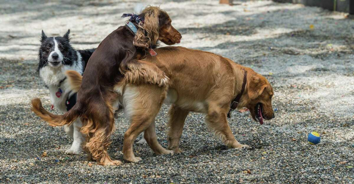 Mounting is a canine dominance posture and is often the result of a dog being overexcited during playtime, basically the equivalent of two kids wrestling and one getting the upper hand.