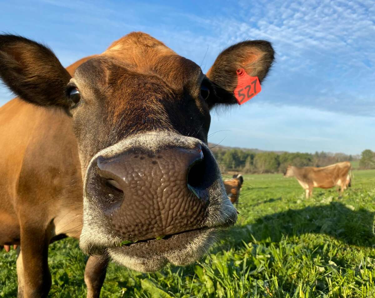 """""""When you feed a cow what it was supposed to be fed, they are going to produce what their bodies were intended to produce, not anything more,"""" said Carl Gerlach, CEO of Maple Hill Creamery, one of the leaders in the grass-fed dairy movement."""