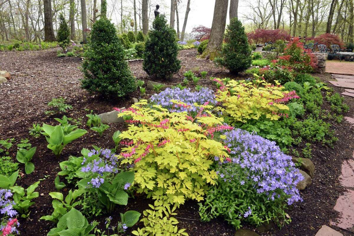 The backyard garden of Susan Anton in Woodbridge photographed on April 29, 2021. The purple flowered perennial is phlox divaracata mixed in with yellow leaved bleeding hearts.