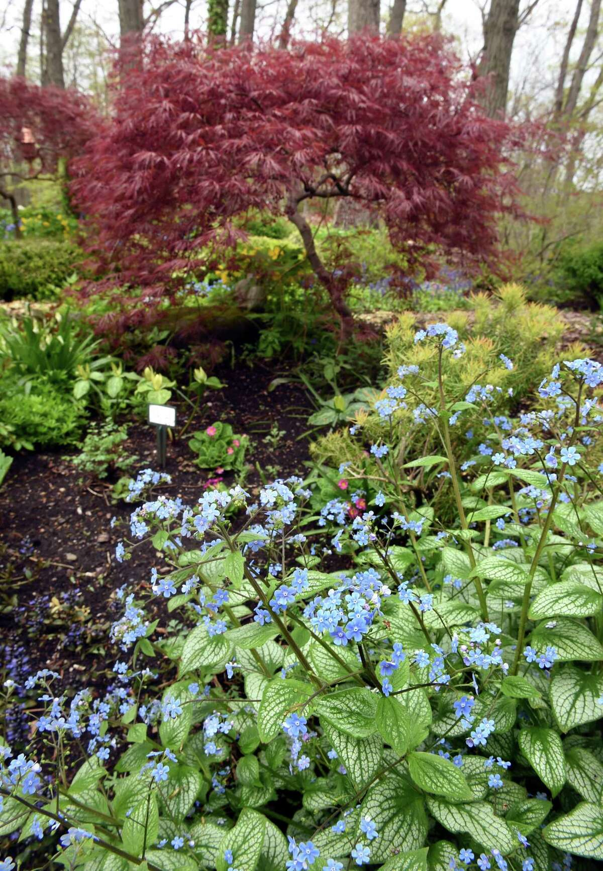 The backyard garden of Susan Anton in Woodbridge photographed on April 29, 2021 with Brunnera macrophylla in the foreground.