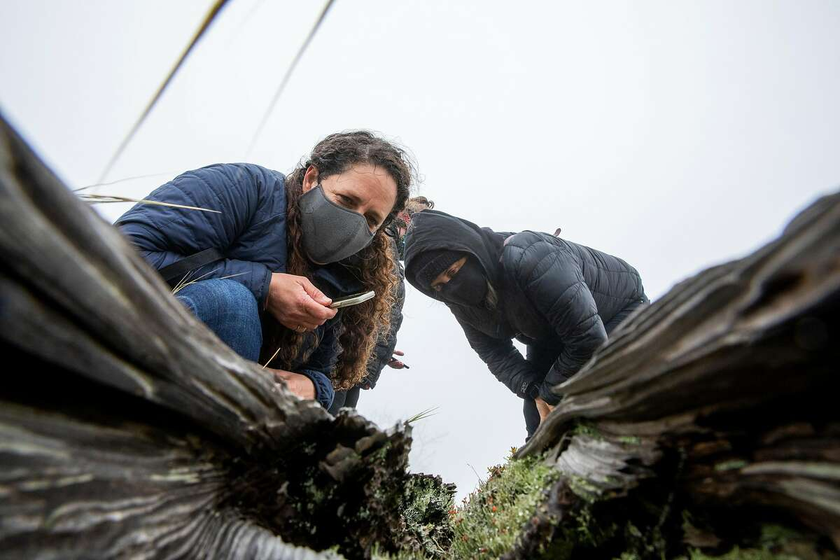 Rebecca Johnson (left) and Lyra Wallace check out the lipstick powderhorn lichens inside a decomposing tree at Milagra Ridge during the City Nature Challenge.