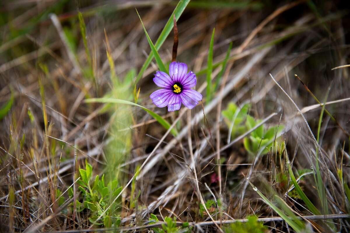 Blue-eyed grass at Milagra Ridge.