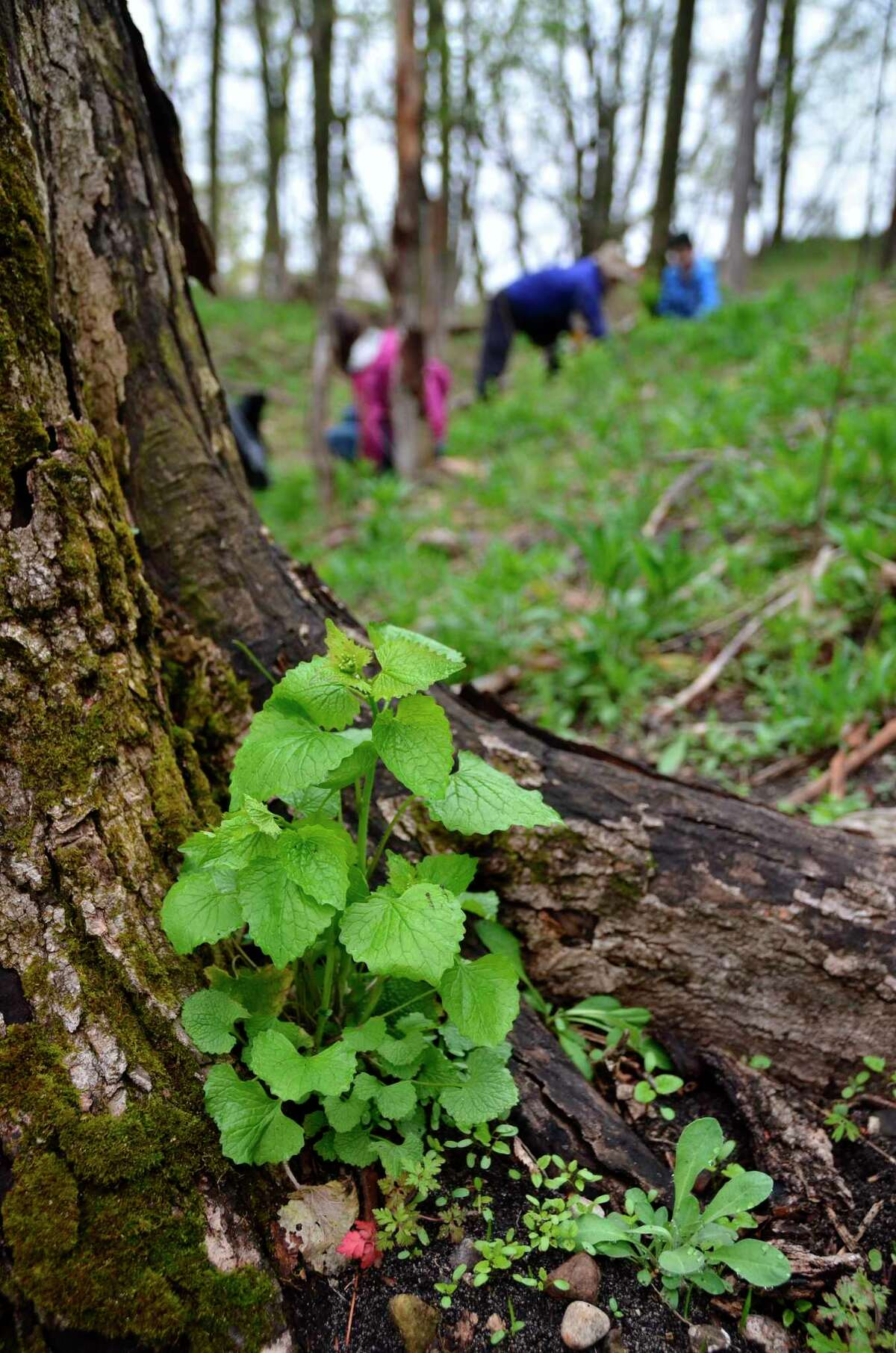 The Northwest Michigan Invasive Species Network will host a series of work bees in Benzie, Grand Traverse, Leelanau and Manistee Counties to remove invasive garlic mustard. (Courtesy Photo)