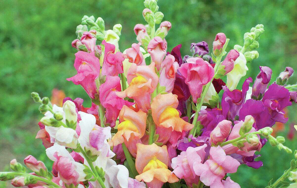 """With its stretching, many-hued blooms, the Snapdragon """"University of California Mix"""" is a colorful garden choice."""