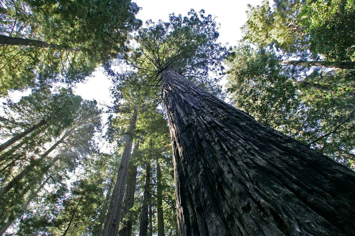 Towering old-growth redwoods at the Lady Bird Johnson Grove in Redwood National Park. Sen. Alex Padilla's legislation would designate more than 300,000 acres of public lands in Del Norte, Humboldt, Mendocino and Trinity counties, where many redwoods grow, as wilderness, the most restrictive classification of federal land.