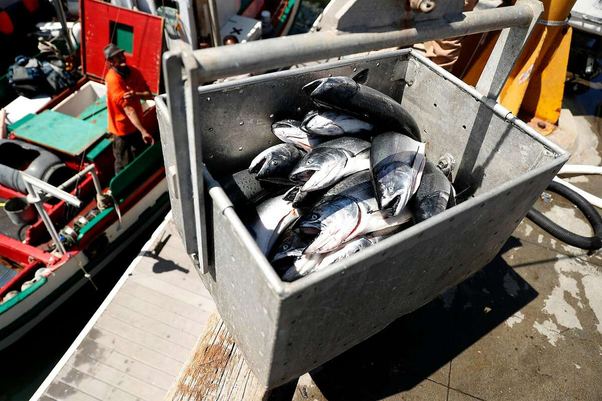 Salmon is unloaded from the fishing boat Doris at H&H Fresh Fish in Santa Cruz on Sunday. The California commercial salmon season started on Saturday.