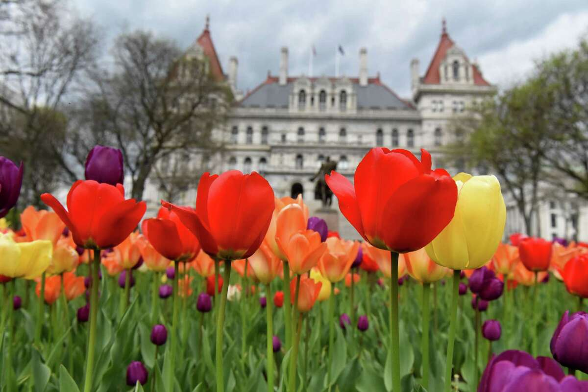 Colorful tulips are in full bloom at East Capitol Park on Monday, May 3, 2021, in Albany, N.Y. (Will Waldron/Times Union)