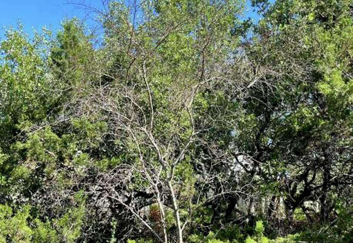 This huisache is likely dead. Huisache trees are subtropical in their origins, and February pretty well did them in for many Texas gardeners.