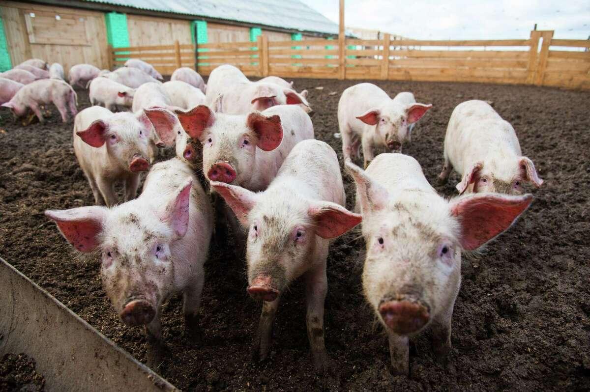 Pigs at farm. (Dreamstime/TNS)