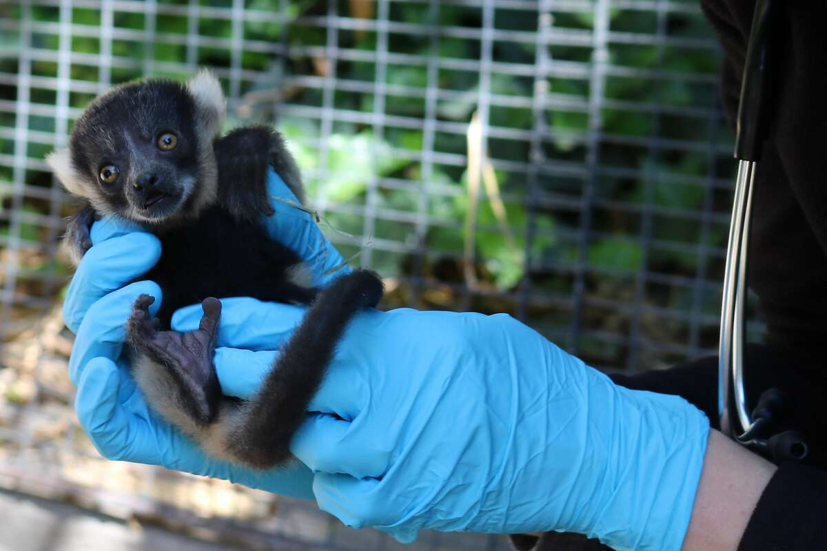 One of the black and white ruffed lemur twins who were born on April 16 at Happy Hollow Park & Zoo in San Jose.