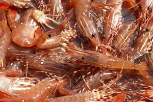 Spot prawns harvested on the Sunshine Coast, British Columbia, Canada.