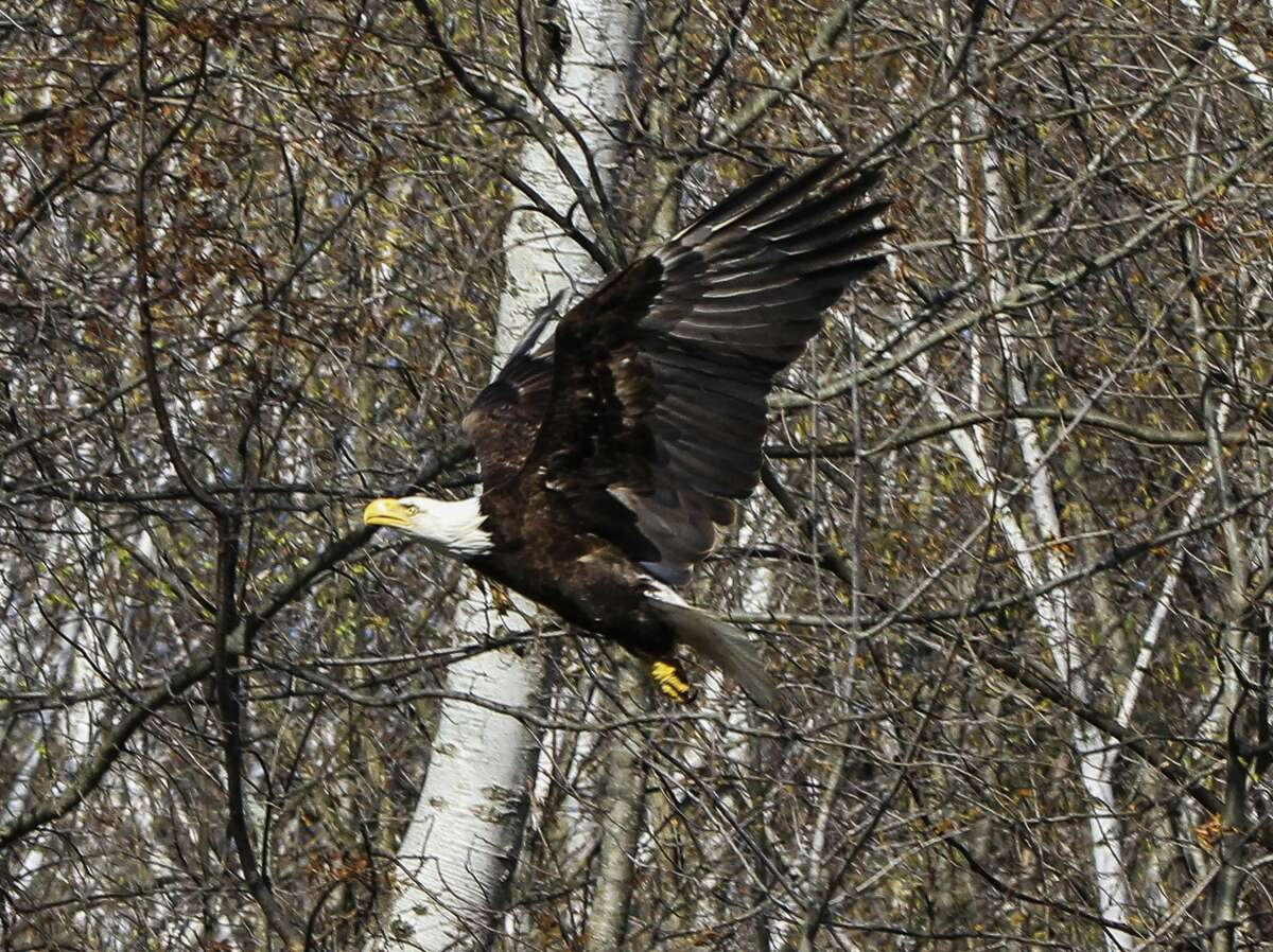 The eagle is released back into the wild on Sunday, April 18. (Photo provided/Linda Rosinski)