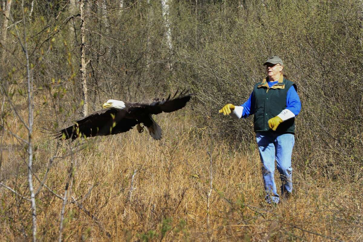 Barb Rogers of Wildlife Recovery Association releases the eagle back into the wild on Sunday, April 18. (Photo provided/Linda Rosinski)