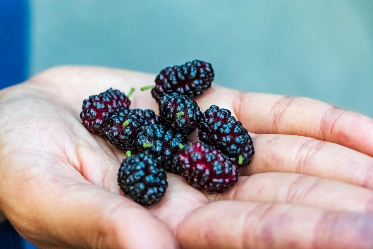 Freshly harvested black mulberries on Mai 29, 2016 in Chitral, Khyber Pakhtunkhwa, Pakistan. (Photo by Camille Delbos/Art In All of Us/Corbis via Getty Images)
