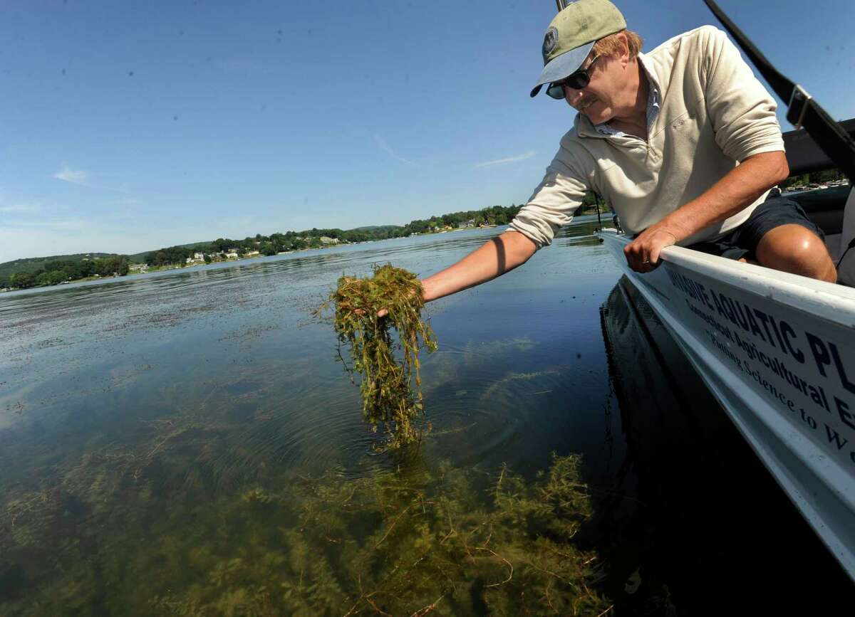 Greg Bugbee, an associate scientist with the Connecticut Agricultural Experiment Station, lifts up a handfull of Eurasian Watermilfoil from Candlewood Lake, Aug. 9, 2016.
