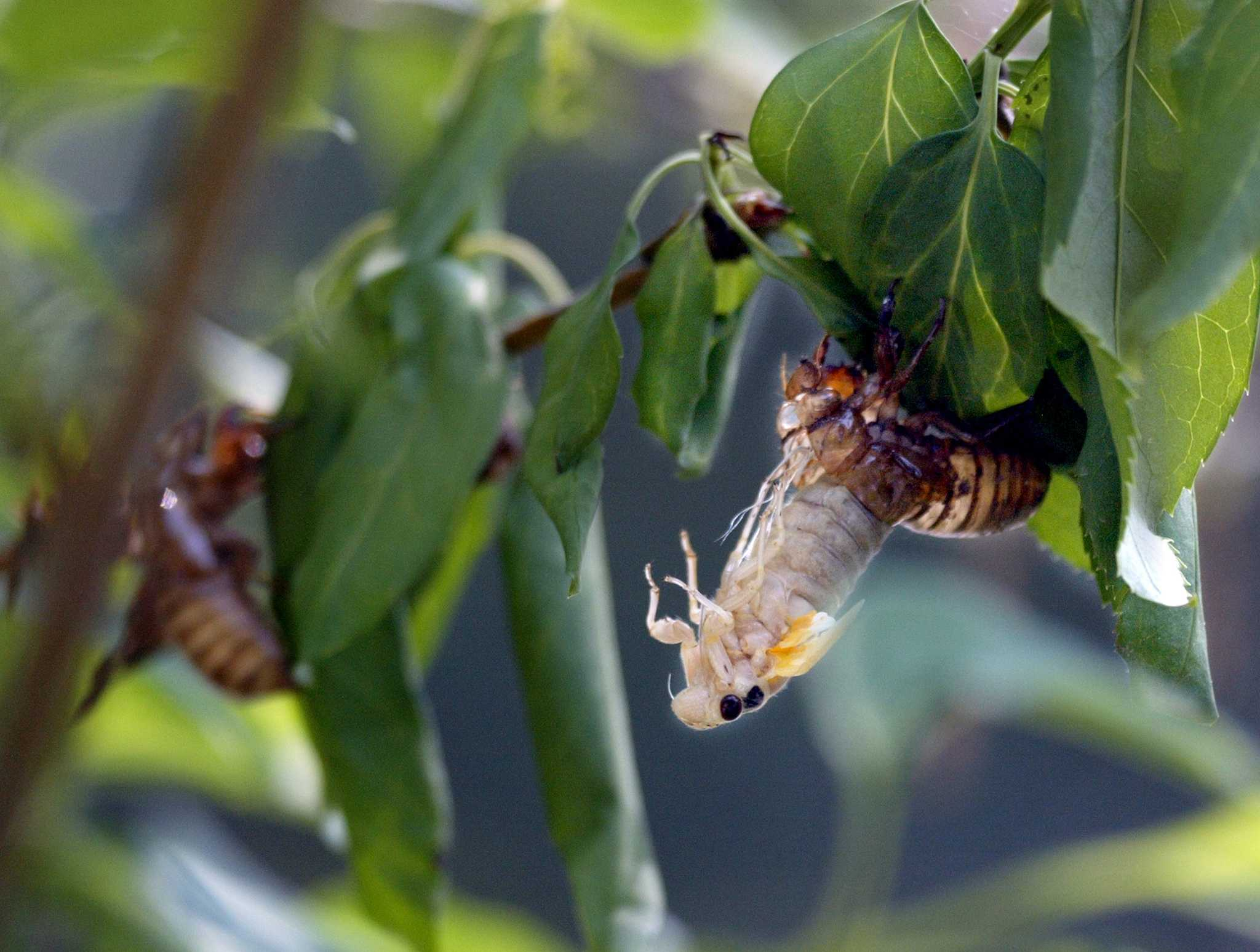 Can you eat cicadas? Yes, and here's the best way to catch, cook and snack on them.