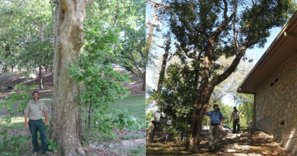 The largest Mexican Sycamore in Texas is found at Trinity University (left), and (right) the largest Texas Mountain Laurel in the nation lives at St. Francis Episcopal Church in Bexar County.