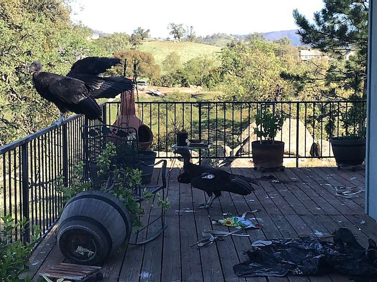 California condors rest on Cinda Mickols porch. A flock of the rare, endangered birds took over her deck the last few days.