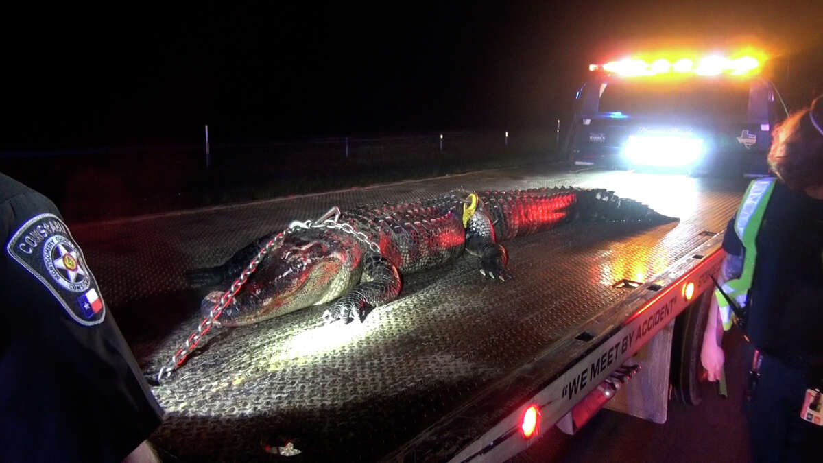An alligator was killed in a collision with a driver on Texas 99 near the San Jacinto River.