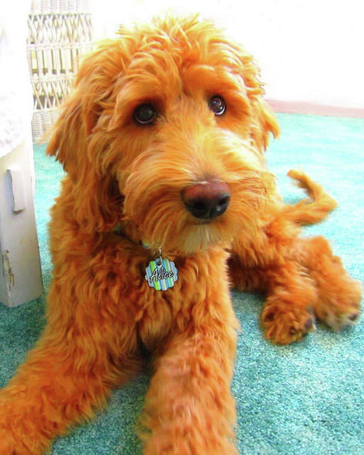 Sarah Kathryn Frey's Double Doodle service dog, Alice Eloise, is the subject and the inspiration for her new children's book,