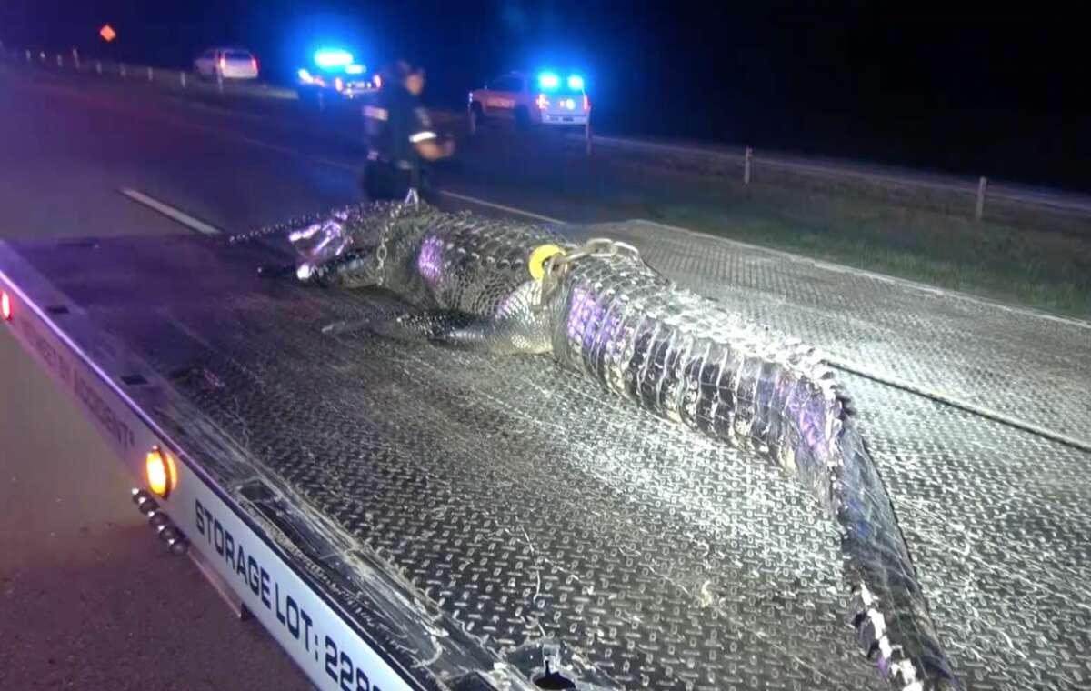 The alligator sadly died.