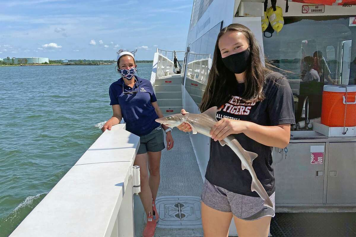 A smooth dogfish shark gets safely returned to Long Island Sound after being brought up for examination during a Marine Life Encounter Cruise.