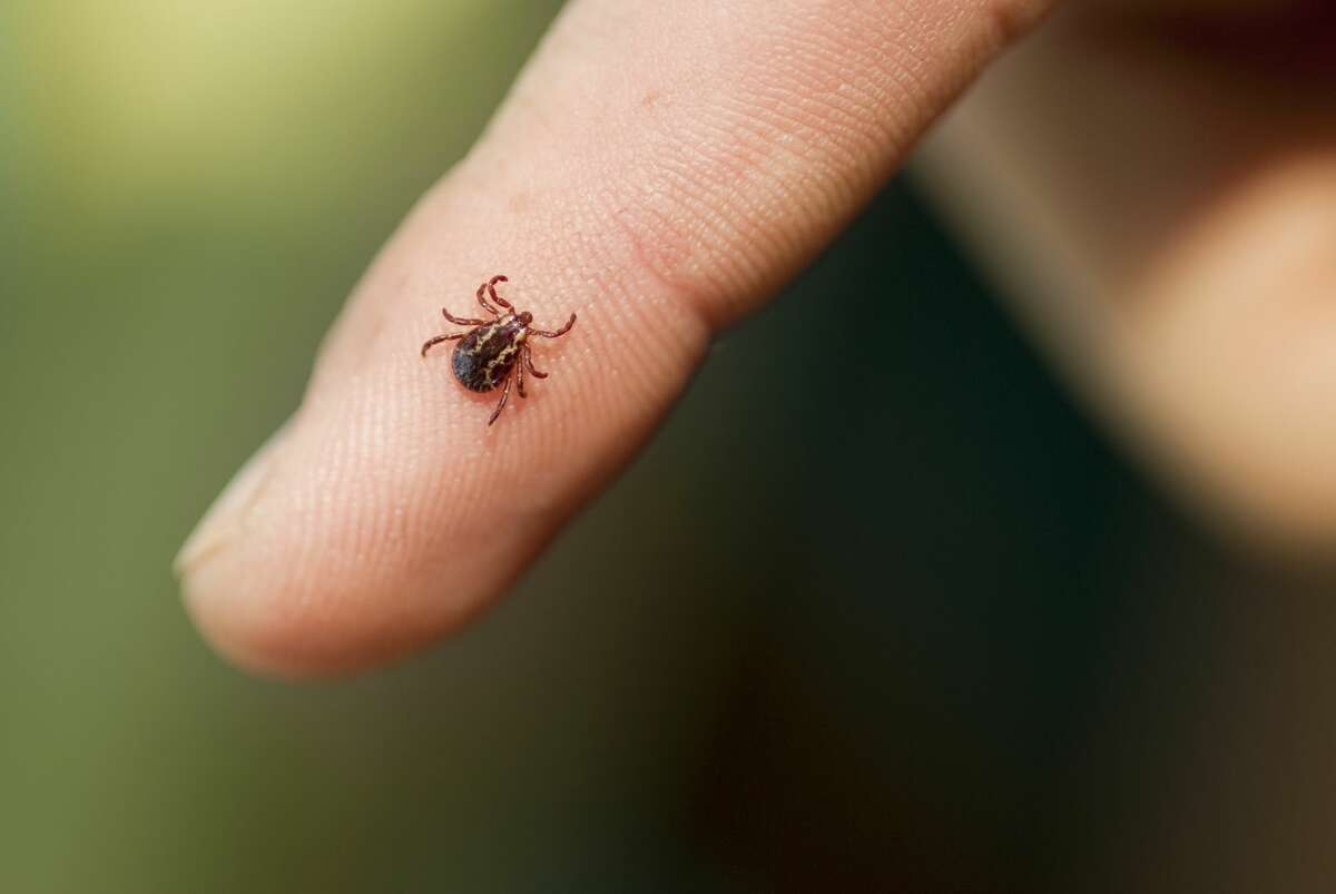 Different infected ticks can cause different diseases beyond Lyme. A wood tick, shown here, refers to the American dog tick (Dermacentor variabilis) and the Rocky Mountain wood tick (Dermacentor andersoni). A bite from an infected wood tick can cause Rocky Mountain Spotted Fever or tularemia.