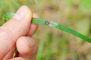 A deer tick, shown here, usually refers to the blacklegged tick (Ixodes scapularis) and the western blacklegged tick (Ixodes pacificus). This tick is a slow feeder and must be attached to a host for 24-48 hours before it can transmit Lyme disease; it can also transmit anaplasmosis and babesiosis. A deer tick is smaller than a wood tick — a nymph can be as tiny as a poppy seed.