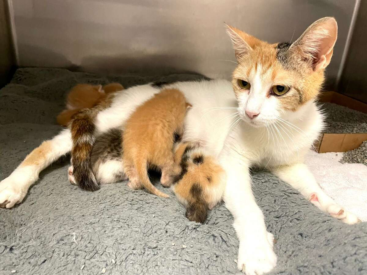 A momma cat nurses her kitten at the Montgomery County Animal Shelter Friday. Officials at MCAS are urging residents to leave newborn kittens they find alone since the mother cat is likely near by.