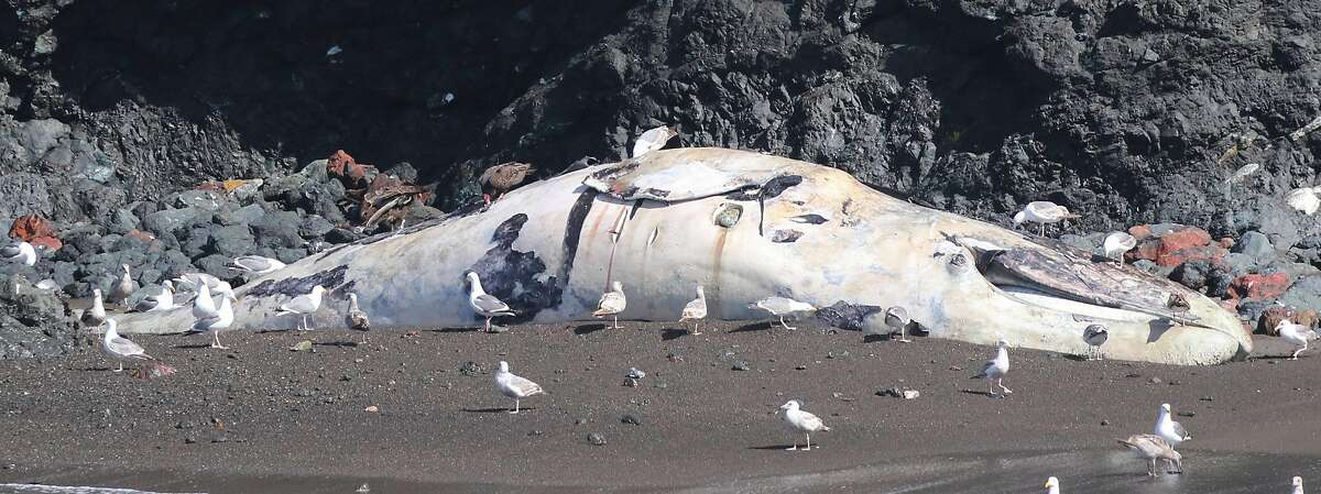 A dead gray whale at Lime Point in Sausalito on May 3.
