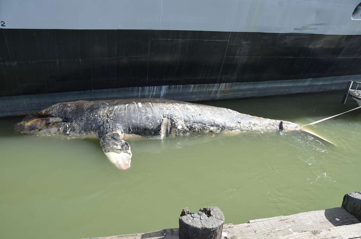 A dead gray whale adjacent to a boat pier at the Port of Oakland on Tuesday.