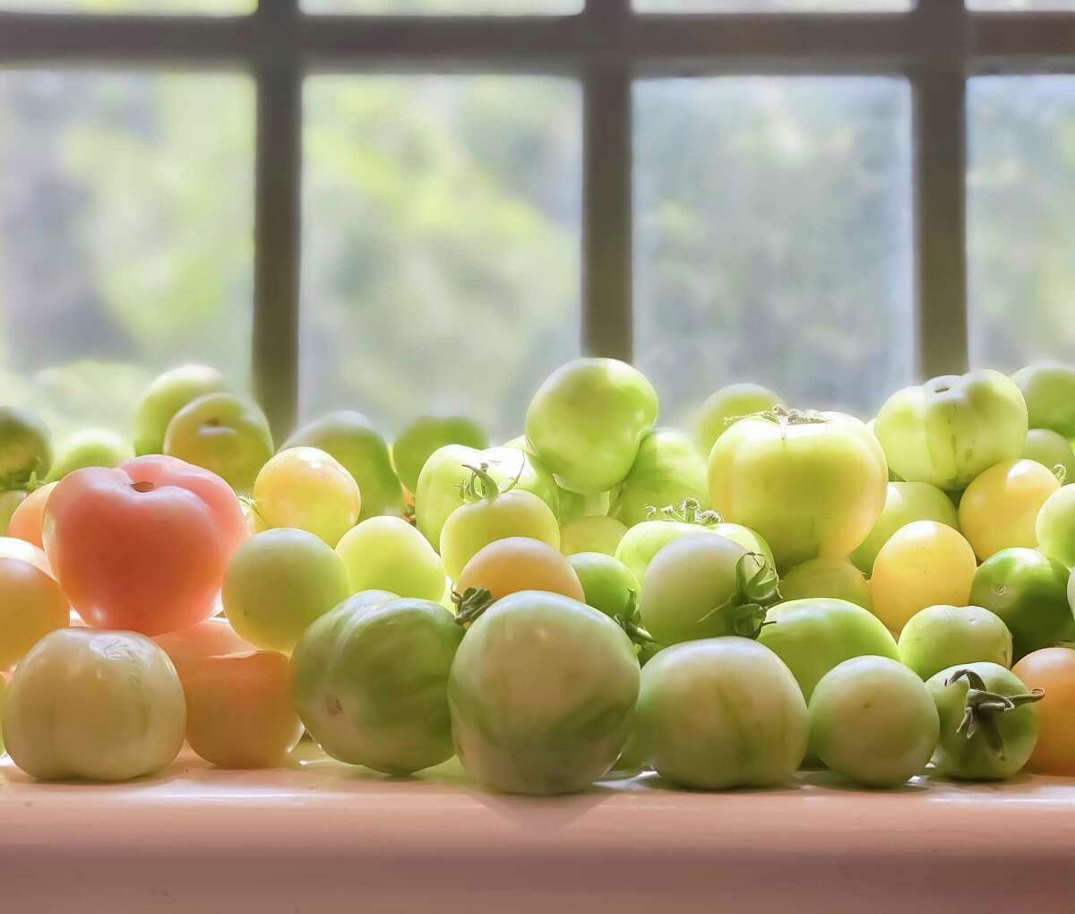 Storing underripe tomatoes in a sunny window can help them ripen faster.