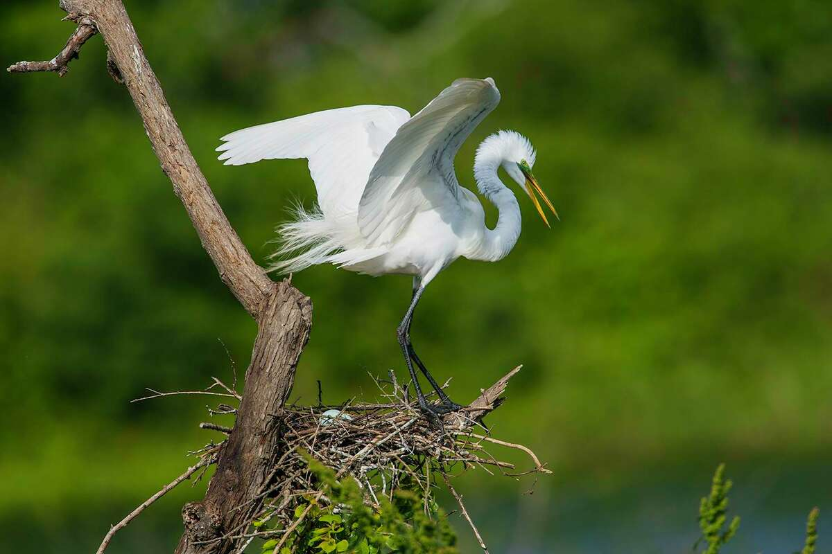 Bird mothers, like this great egret, are busy this May with nesting activities. Egrets build their nests near water to protect them from predators.