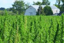 A bill moving forward in North Carolina would put hemp on stronger legal footing in the state, by explicitly allowing it to be used not just for ropes and clothing but also for human consumption, in smokable or edible forms. (Dreamstime/TNS)