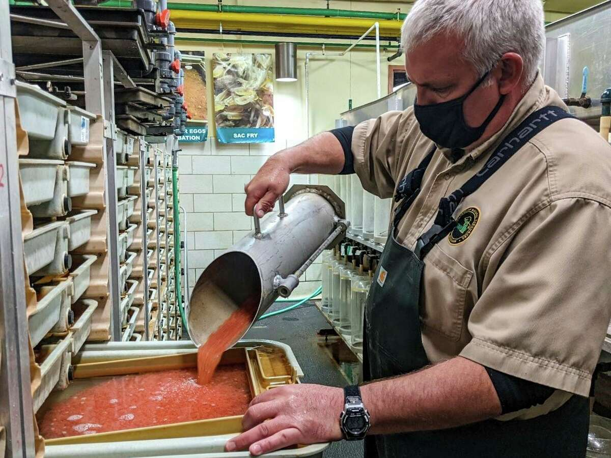 Ed Barr, a Michigan Department of Natural Resources fisheries technician, works with collected fish eggs at the Wolf Lake State Fish Hatchery. (Courtesy photo/Michigan Department of Natural Resources)