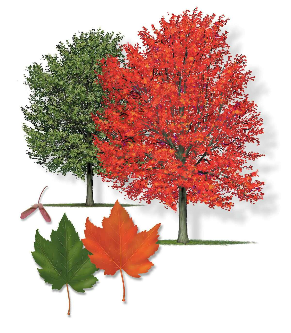 Robert O'Brien's tree illustrations of trees that can offer fall color. This is the Red Maple.