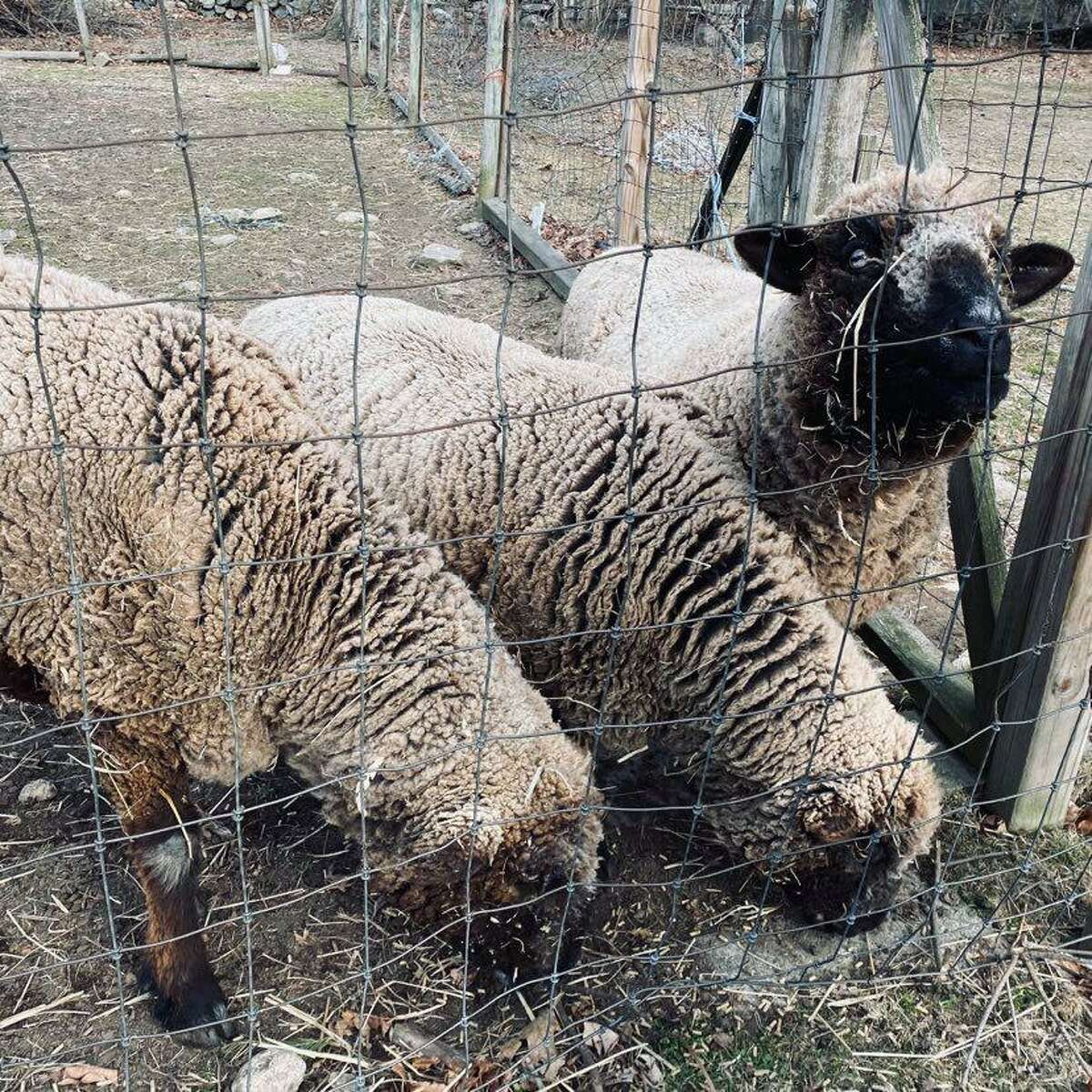Darien sheep Chuckie, Belle Fleur and Bellina enjoy snacking on their families Christmas trees after the the holiday season.