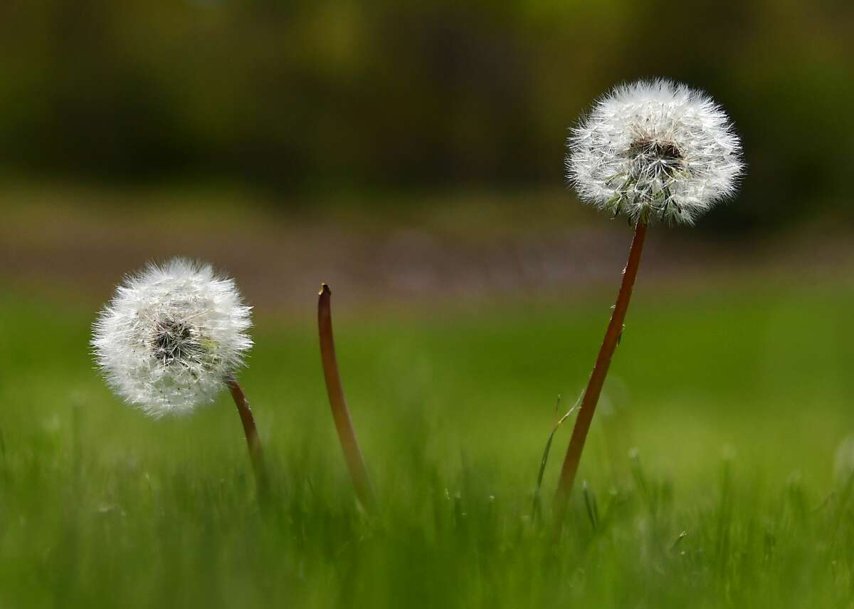 Dandelion puffs on a lawn in Bethlehem, N.Y.