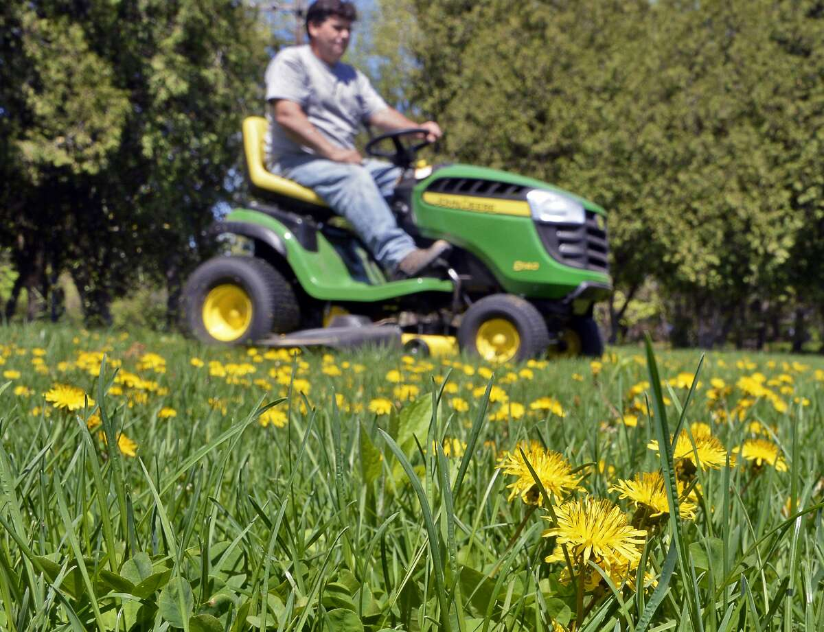 A man mows a dandelion-covered lawns in Waterford, NY.