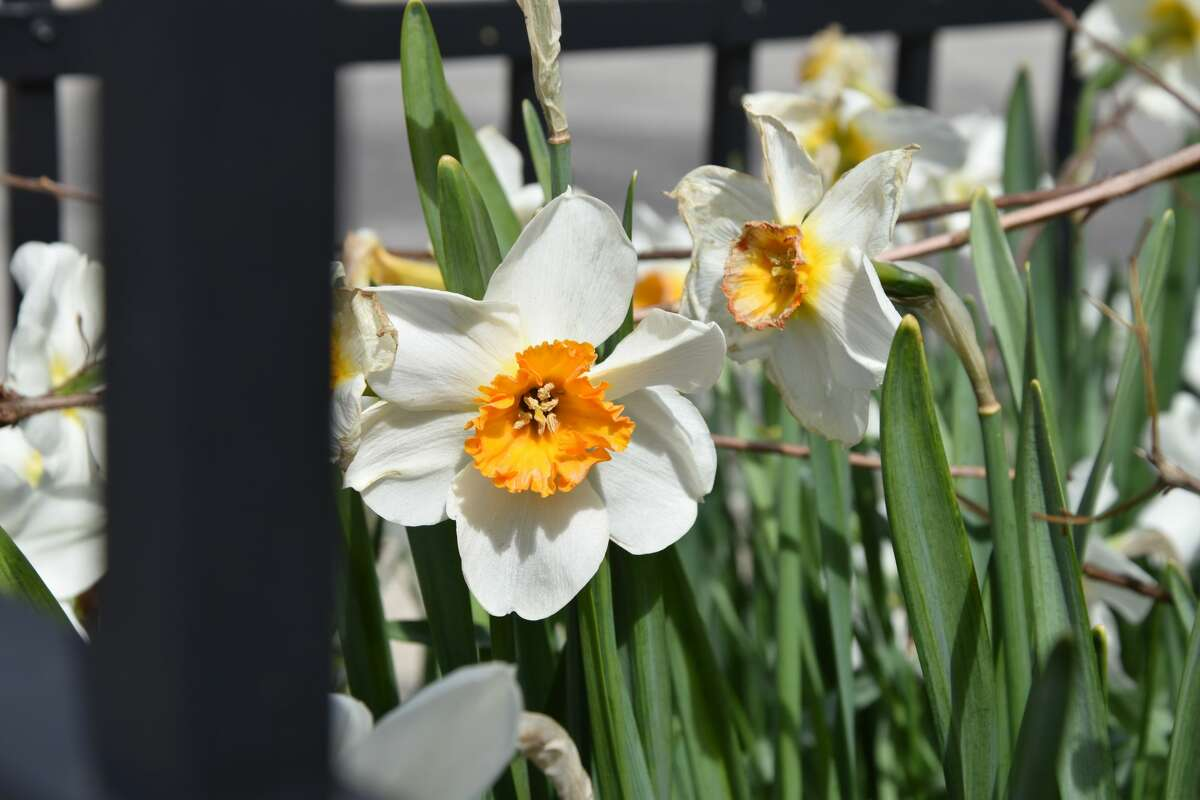 Yellow and white daffodils stand open in the sunshine on Saturday morning at the Manistee County Library Book House.