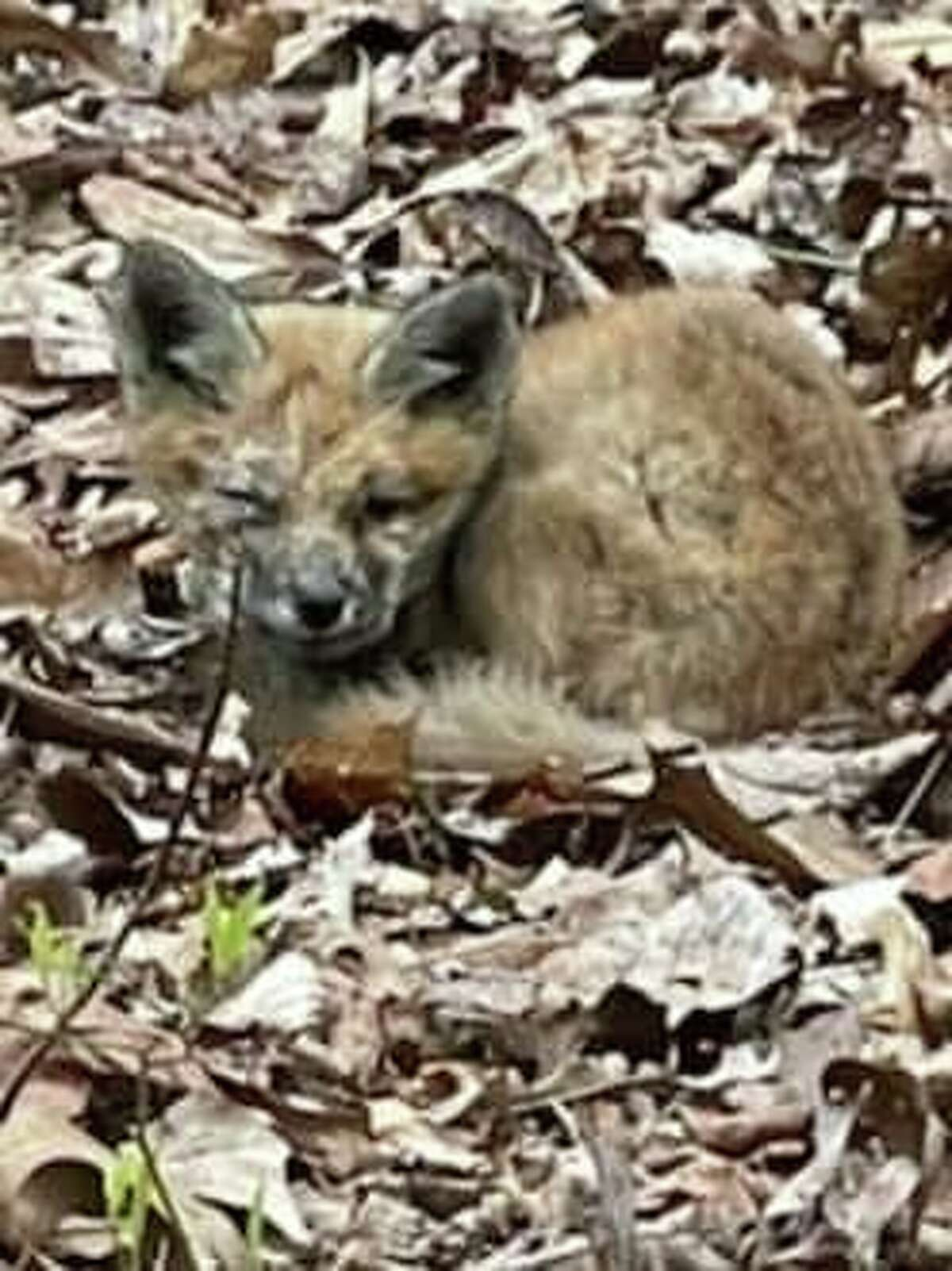 STAMFORD - City police helped rescue this baby fox Saturday, May 8, 2021. Police said the animal was turned over to an animal rehabilitation center