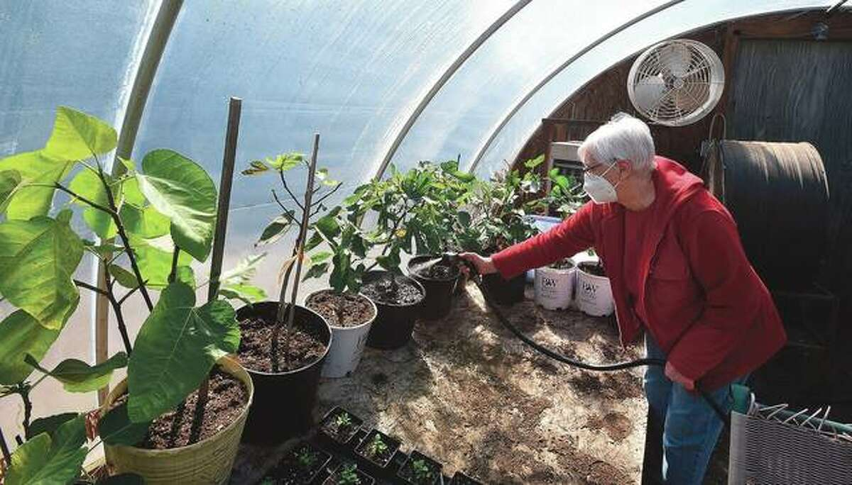 Mary Picardo waters fig plants in her backyard greenhouse. Gus and Mary Picardo have been eating their own homegrown lettuce since February. By mid-March, they had tomatoes growing on more than four dozen healthy plants.
