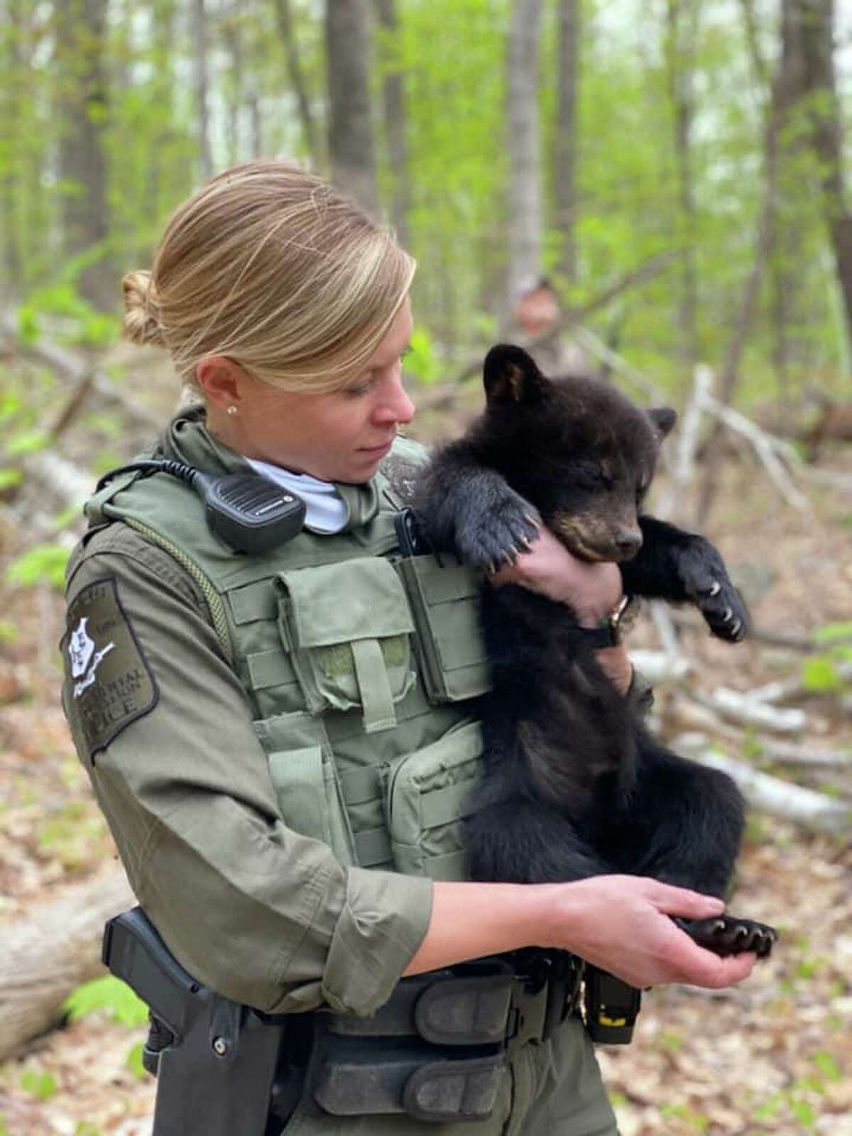 One of the two cubs relocated with its mother from a Canton, Conn., home on Friday, May 7, 2021.