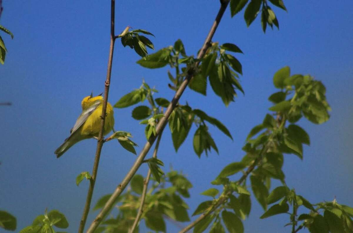 A blue winged warbler (cardamine diphylla) singing at Macricostas Preserve