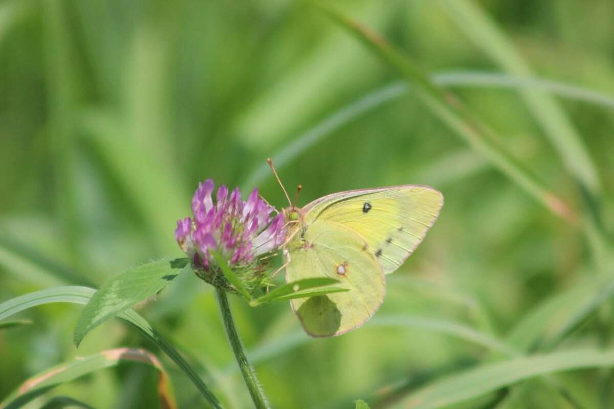 A clouded sulphur (colias philodice) feeding on a flowering clover.