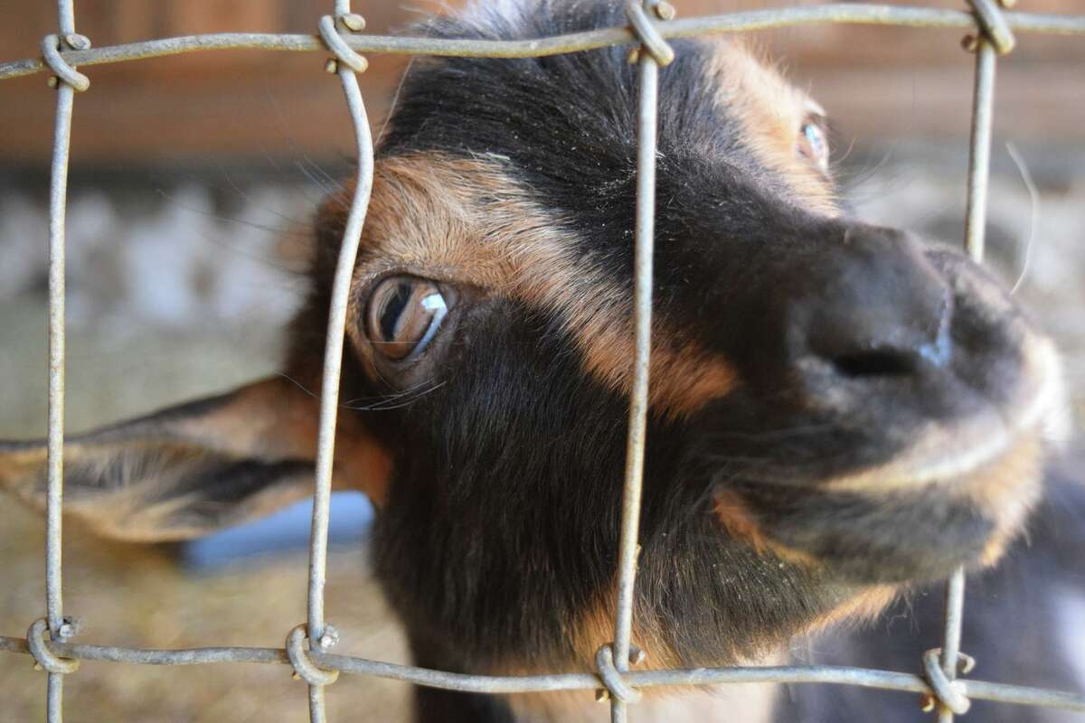 Nigerian dwarf goats like this one are waiting to help with yoga poses.